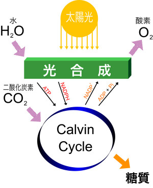 Simple_photosynthesis_overview_2